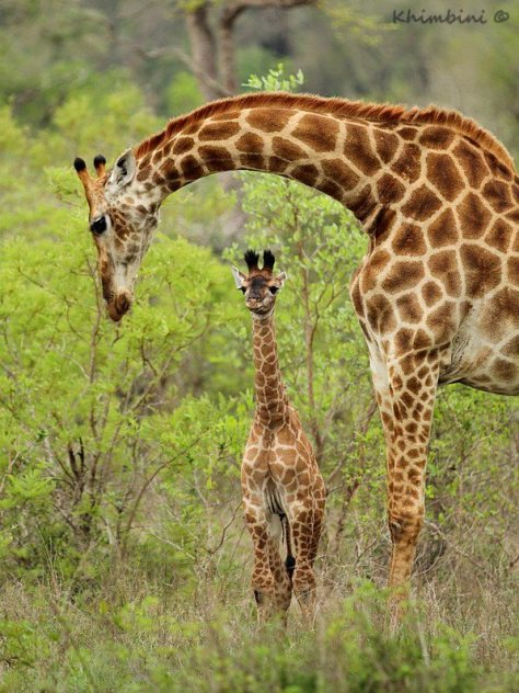 First steps into life: New born giraffe