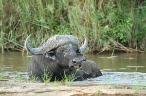 Inyati - buffalo bulls