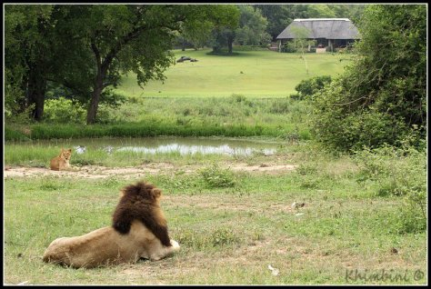 Makhulu Mapogo and Ximhungwe lioness