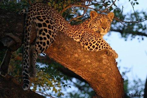 Metsi female leopard