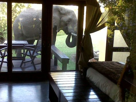 Resident elephant bull in camp