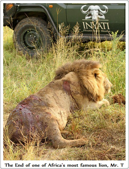 The end of one of Africa's most famous lion's - Mr T.