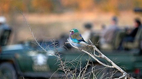 The average size is 14.5 inches. The washed green head is large, the neck is short, the greenish yellow legs are rather short and the feet are small