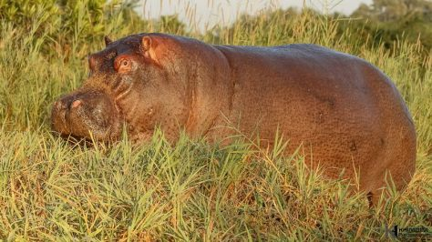 "The hippopotamus, or hippo, from the ancient Greek for ""river horse"", is a large, mostly herbivorous mammal in sub-Saharan Africa"