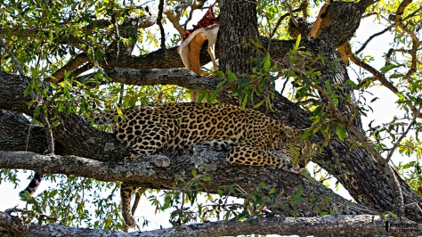 Hlabankunzi in tree