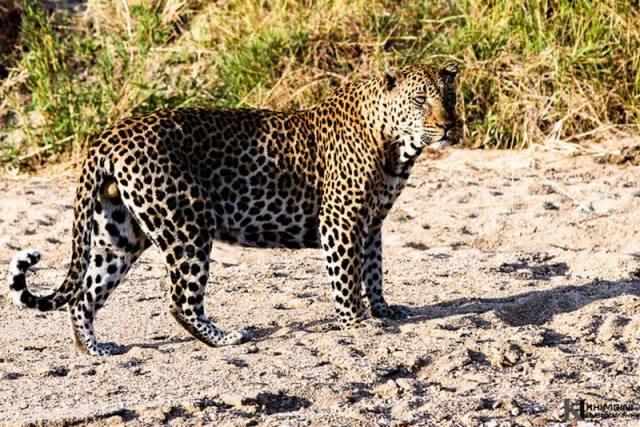 Leopard (Panthera Pardus) - Ndlevana male