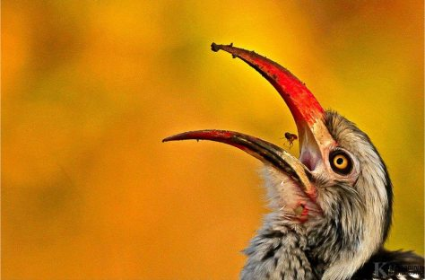 Red-billed Hornbill is a relatively small species of hornbill found in savanna and woodland of sub-Saharan Africa