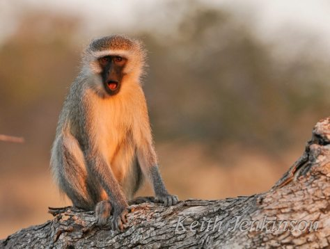 vevet monkeys