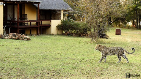 Dayone male leopard in camp