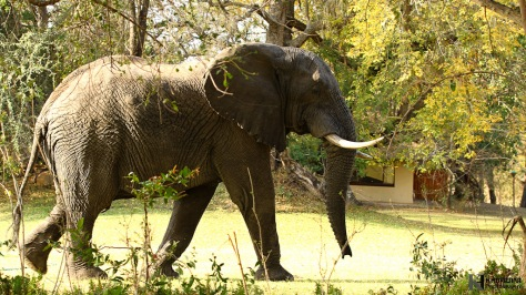 Elephant bull Main lodge