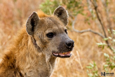 Hyena female