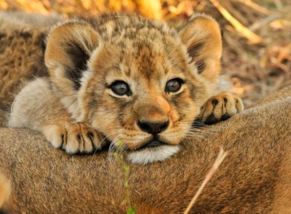 Cute cub @ Inyati