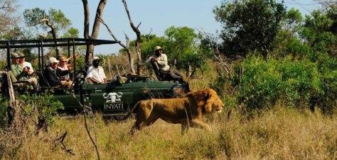 Selati male lion