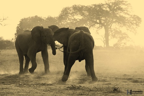 Elephant dusting battle
