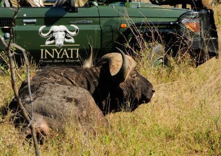 Inyati Cape buffalo (Syncerus caffer)