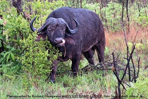 INY Cape buffalo (Syncerus caffer)
