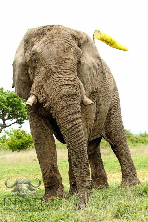 INY Elephant (Loxodonta africana)