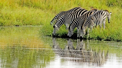 Zebras are several species of African equids united by their distinctive black and white stripes