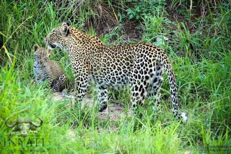 Leopard - Metsi female & cub
