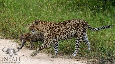 Leopard - Hlabankunzi and Metsi female
