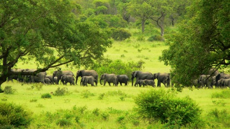 African elephants are the elephants of the genus Loxodonta (Greek for 'oblique-sided tooth'[2]), consisting of two extant species: the African bush elephant and the smaller African forest elephant.