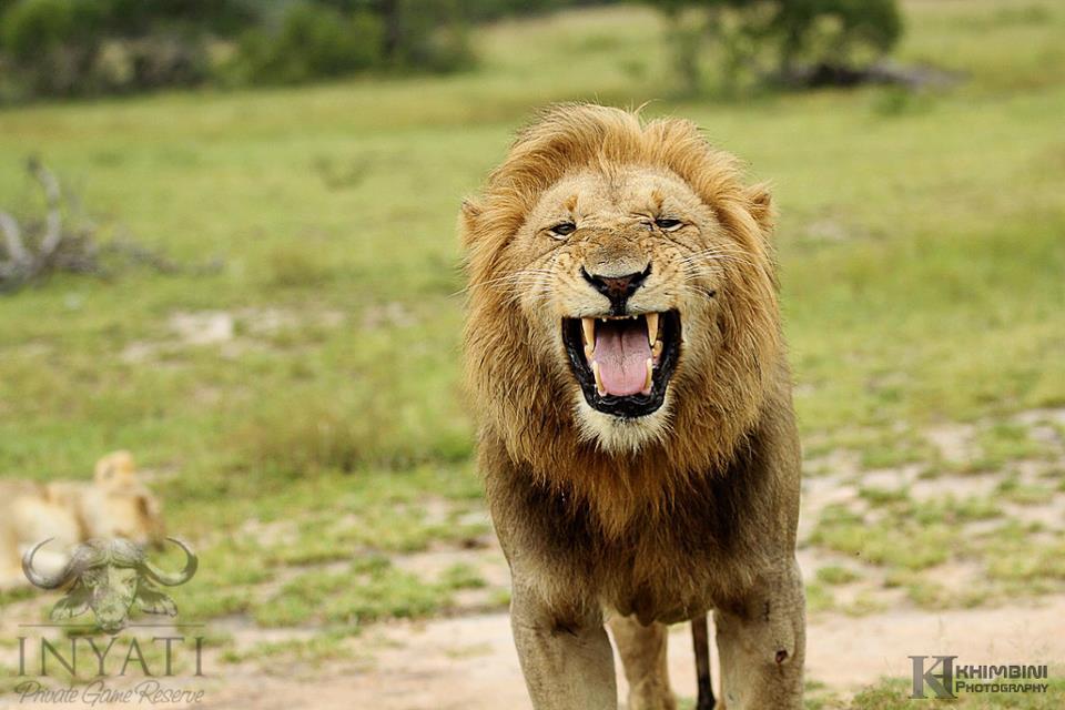 Selati male lions - Sabi Sand Wildtuin (3/3)