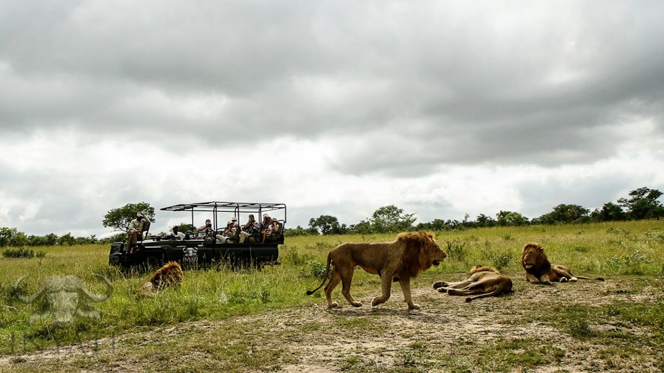 Selati male lions - Sabi Sand Wildtuin (1/3)
