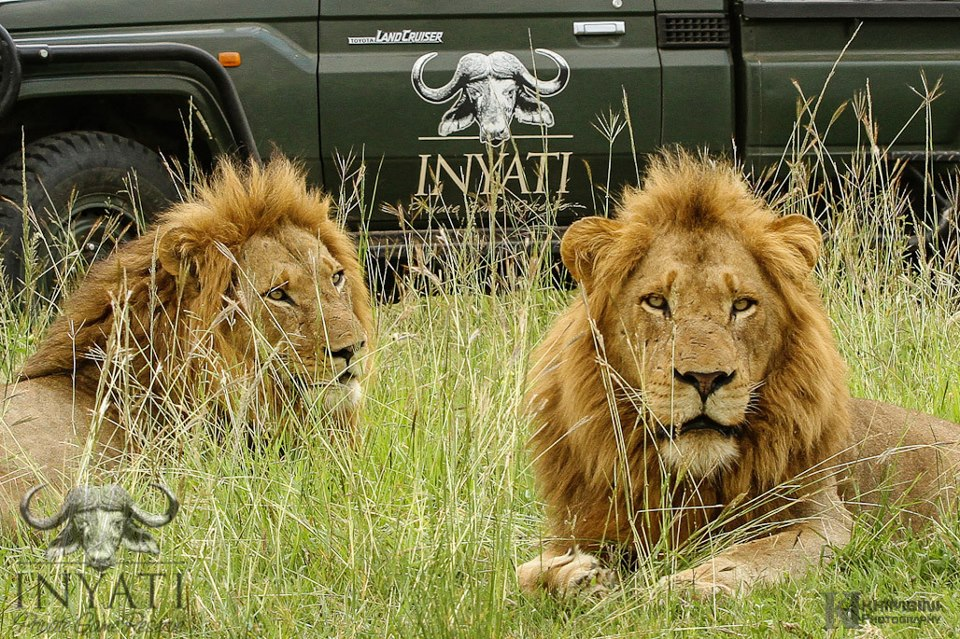 Selati male lions - Sabi Sand Wildtuin (2/3)