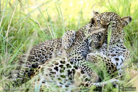 BIG HUG! Mother's love, Hlabankunzi female leopard and cub.