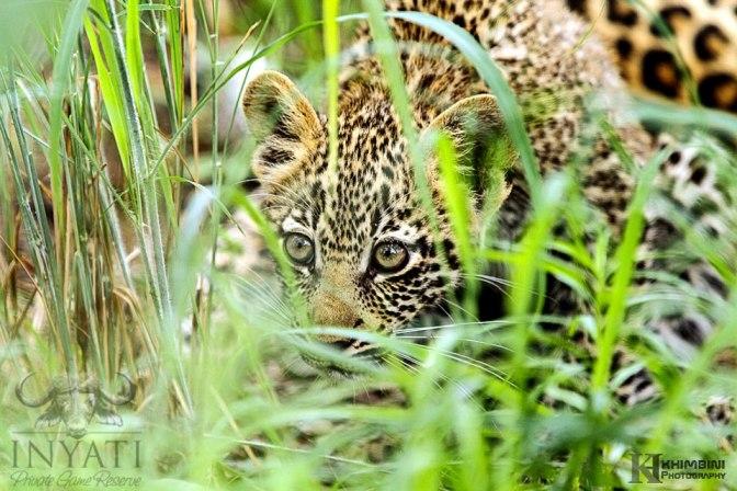 Hlabankunzi female leopard and cub