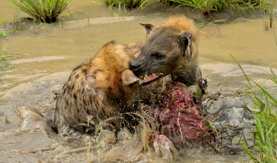 Hyena challenge | Inyati's Safari Blog