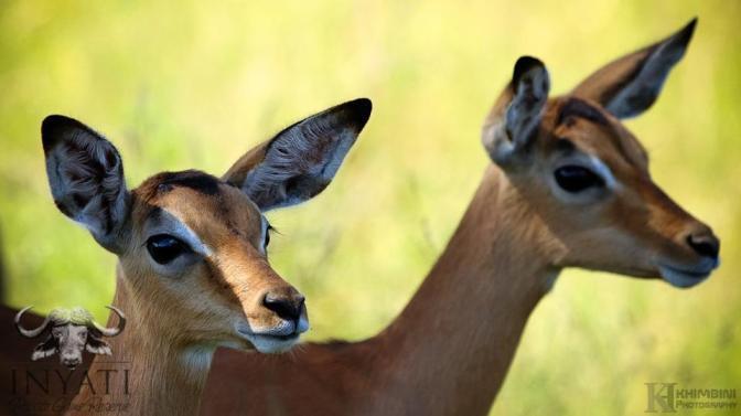 Curious impala lambs