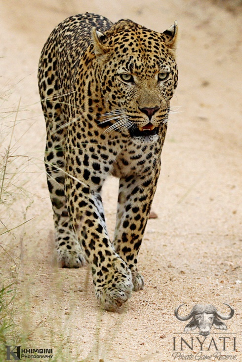 Dayone male leopard