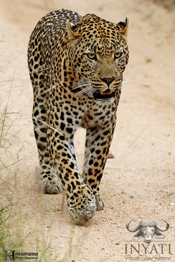 Dayone male leopard