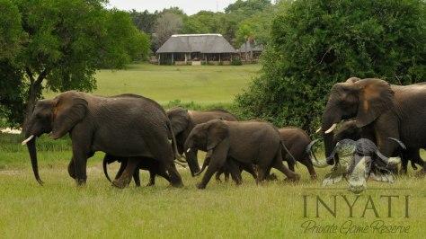 Elephant crossing in camp