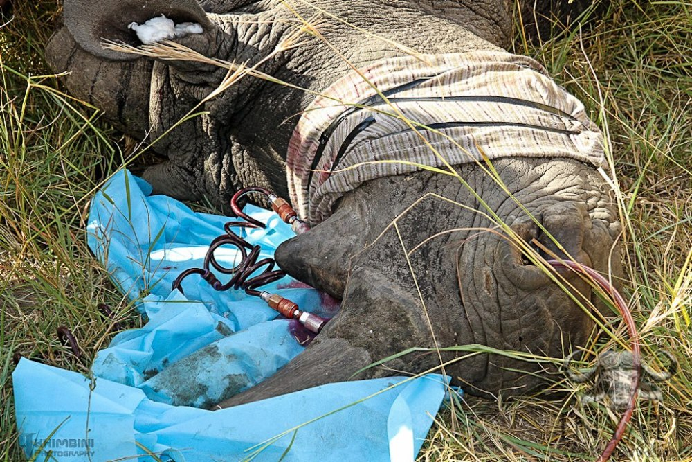 Rhino Rescue Project - Inyati and the Sabi Sand Reserve (3/4)
