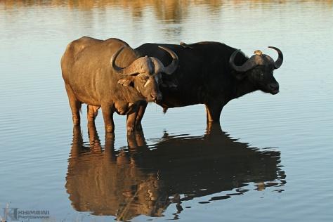 Cape Buffalo (Syncerus Caffer)