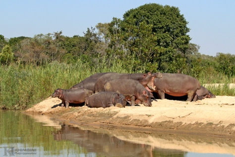 Hippos basking in the sun