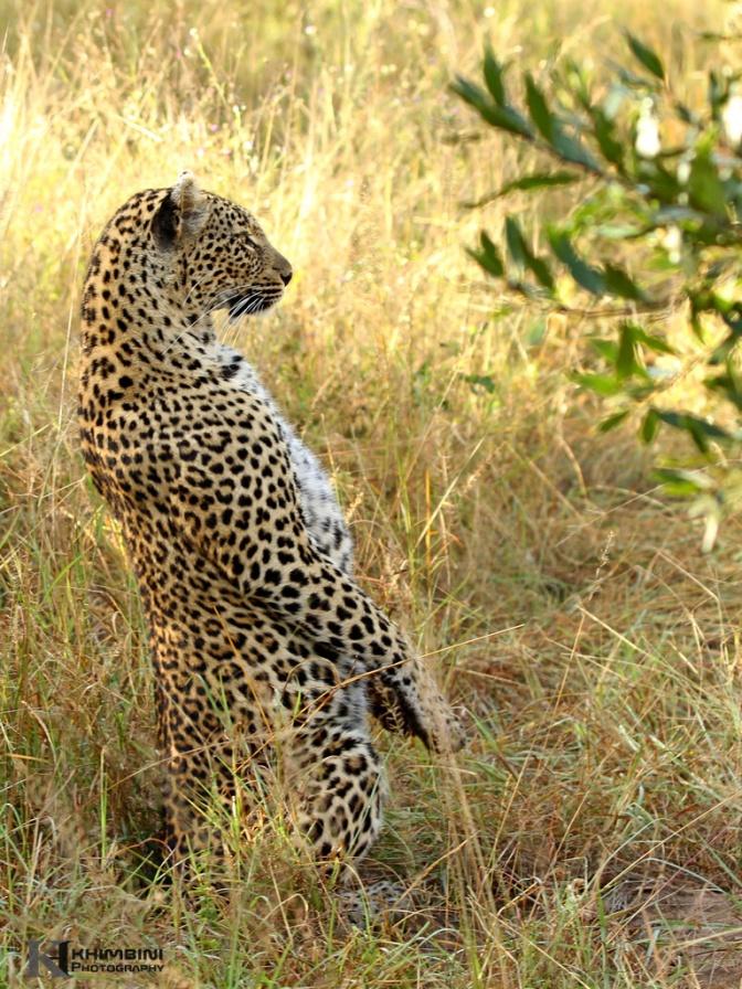 Meercat leopard!!