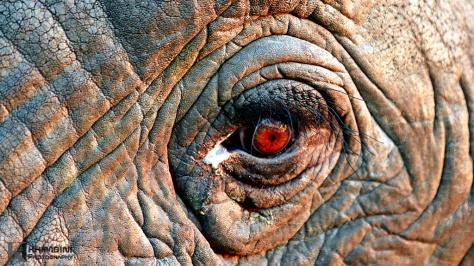 lephant (Loxodonta africana)