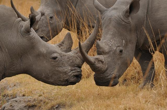 Ten good reasons to save rhinos