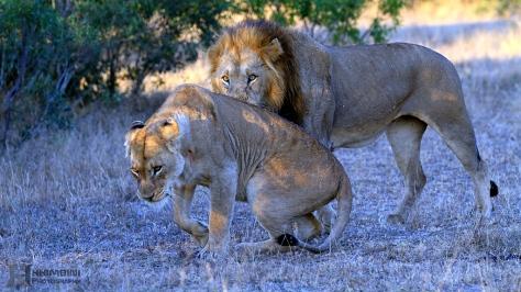 Othawa lioness