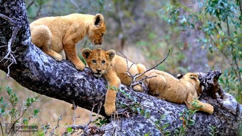 Othawa pride cubs