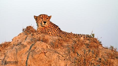 Cheetah (Acinonyx jubatus)2