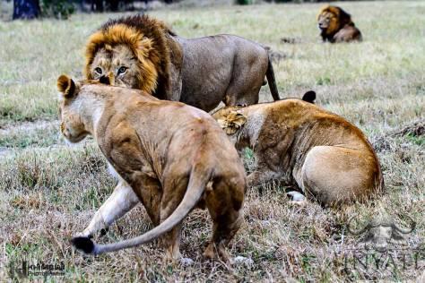 Othawa pride lioness