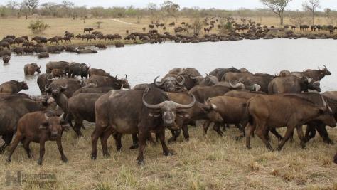 Cape buffalo (Syncerus caf