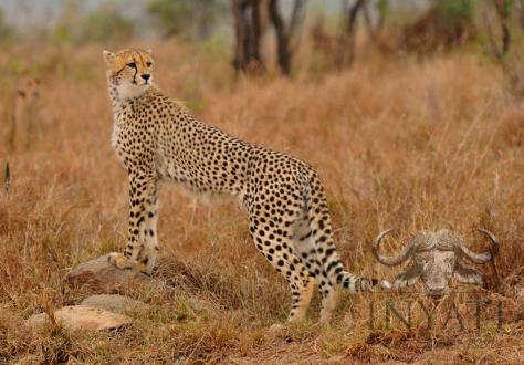 Inyati cheetah