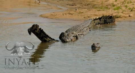 Crocodylinae