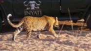 Dayone leopard