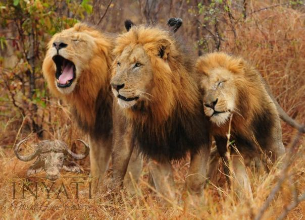 Selati Coalition male lions